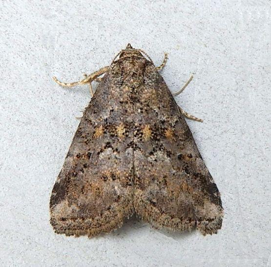 Pennsylvania Moth - Hyperstrotia nana