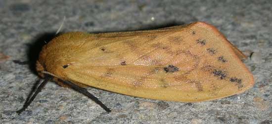 Moth 16 - Pyrrharctia isabella