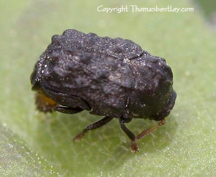 Beetle - Exema