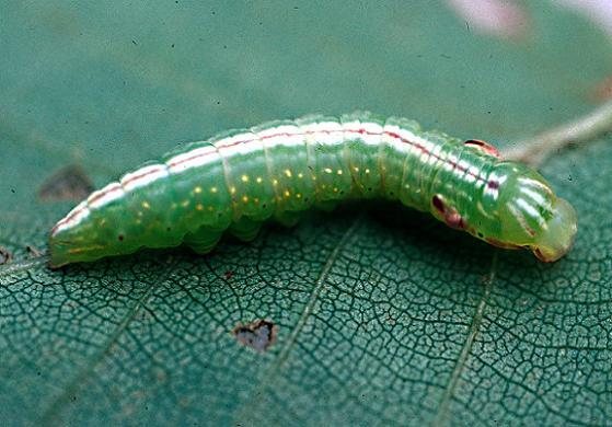 Chocolate Prominent 4th instar larva - Peridea ferruginea