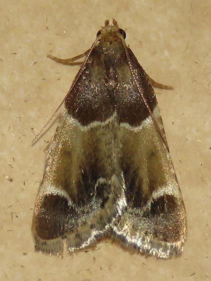 Meal Moth - Hodges#5510 - Pyralis farinalis