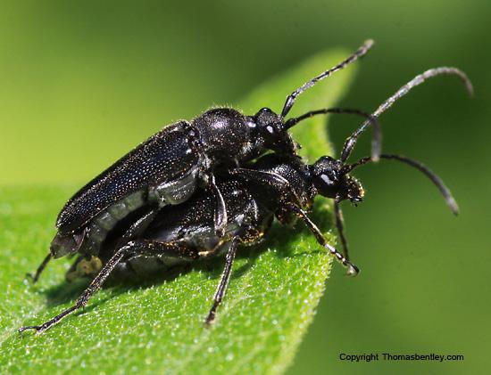 Longhorn Beetle - Anoplodera pubera - male - female