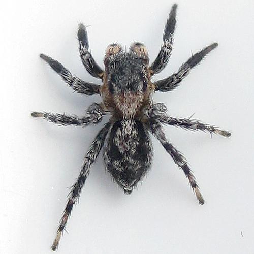 Naphrys pulex - male