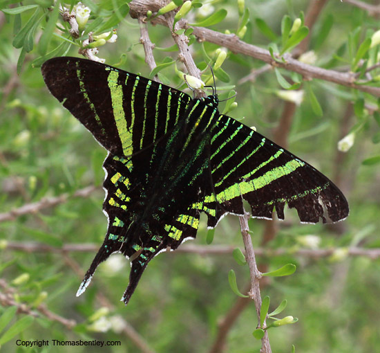 Swallowtail Moth - Urania fulgens