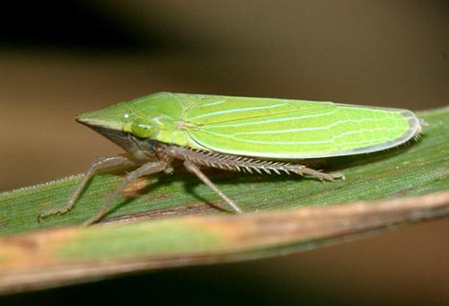male leafhopper - Draeculacephala