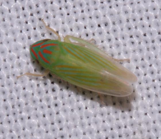 Cicadellidae - Spangbergiella vulnerata - male