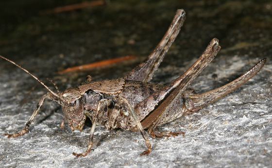 katydid - female