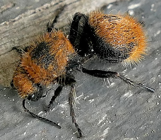 velvet ant - Dasymutilla vestita - female