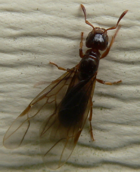 Smaller yellow ant - Lasius claviger