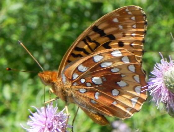 Greater Fritillary x - Speyeria cybele - male