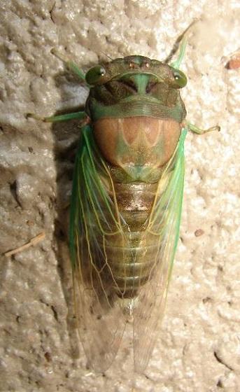 Cicada and Exuviae - Neotibicen tibicen