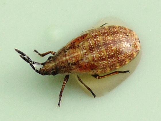 bug - Nysius