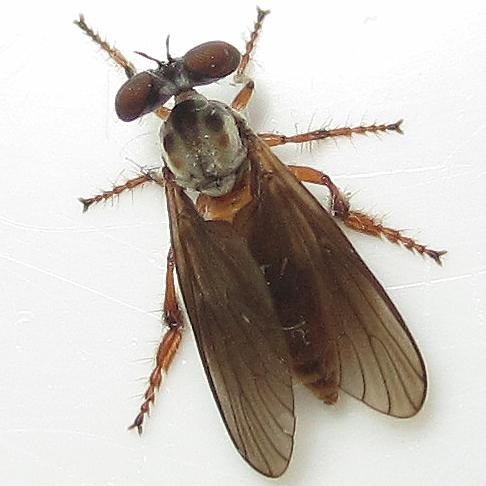 Holcocephala - Holcocephala fusca