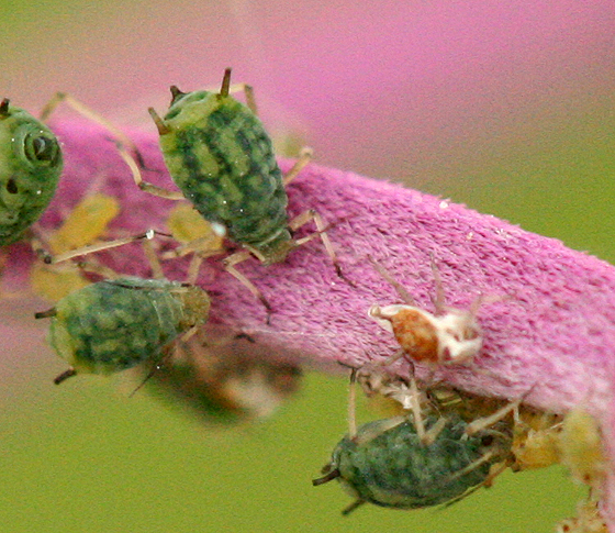 Green Aphids - Aphis