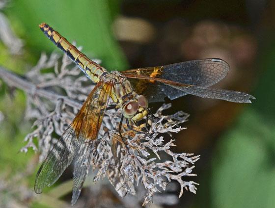 Sympetrum semicinctum - female