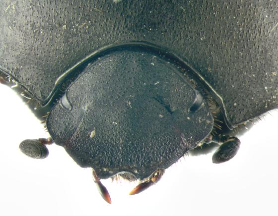 Scarabaeidae, head - Melanocanthon nigricornis