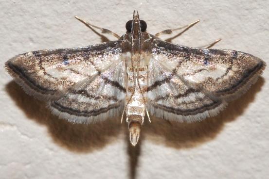 5288 - Cnaphalocrocis trapezalis