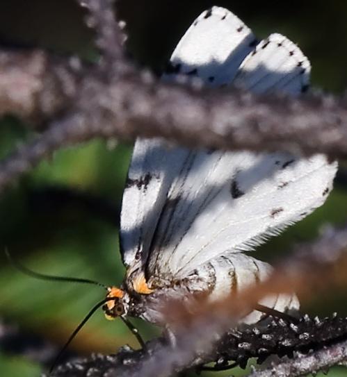 Unknown from Peat Bog - Cingilia catenaria - female