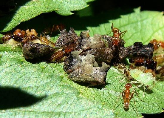 Treehoppers - Entylia carinata