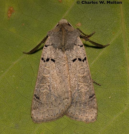 Noctuid - Richia parentalis