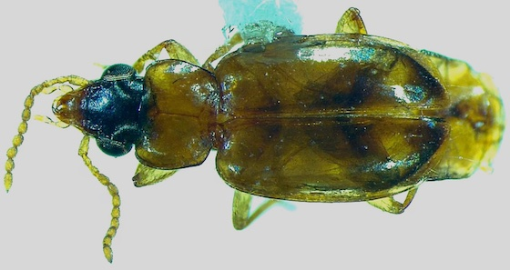 Harpalinae - Perigona nigriceps