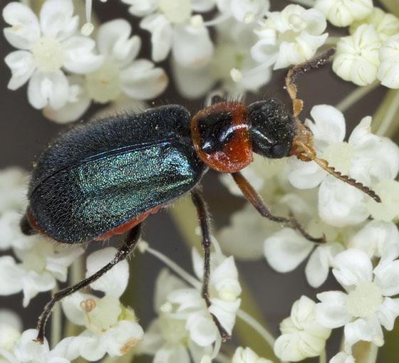 Beetle IMG_1863 - Collops nigriceps - female