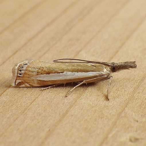 Crambidae: Crambus praefectellus - Crambus praefectellus