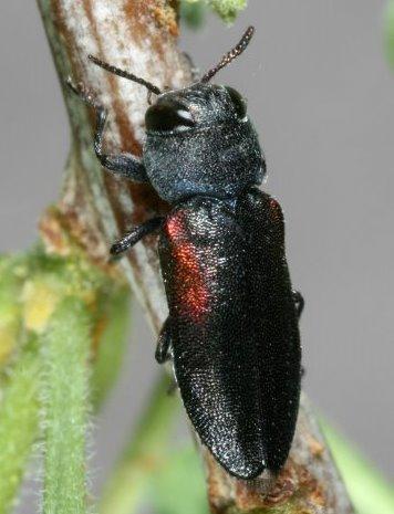Buprestid Beetle - Chrysobothris humilis
