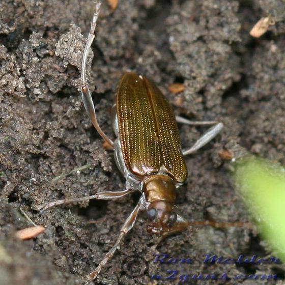Aquatic Leaf Beetle - Donacia