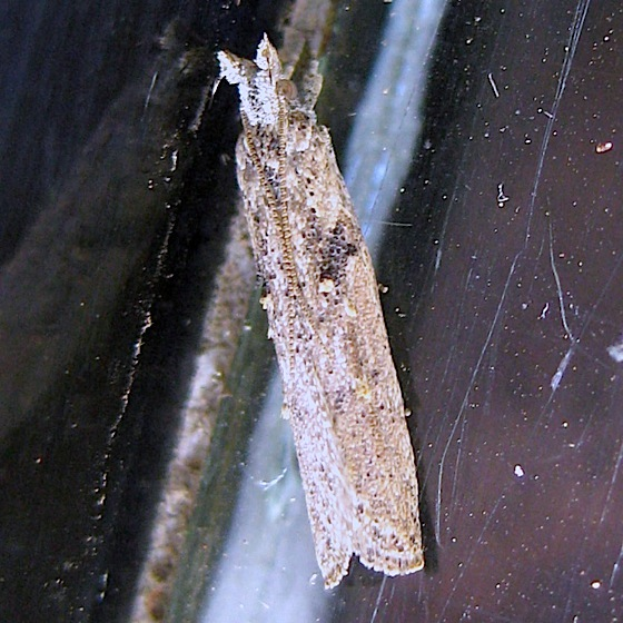 Another moth - Pyramidobela angelarum