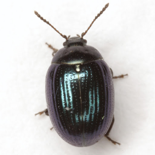 Phaedon viridis F. E. Melsheimer - Phaedon viridis