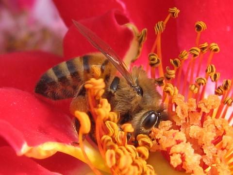 Bee at the War Memorial Rose Garden - Apis mellifera - female