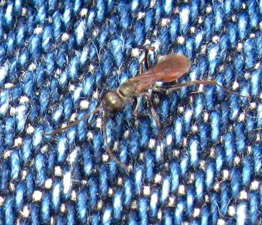 Tiny blackish wasp with red abdomen and ovoid head. - Ageniella
