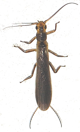 Stonefly, Plecoptera - Perlinella ephyre