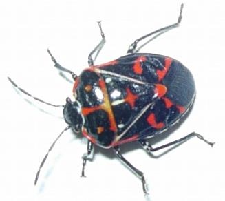 Leaf Beetle - Murgantia histrionica