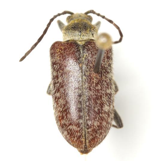 Comacmaeops brunnea  (Knull) - Comacmaeops brunnea