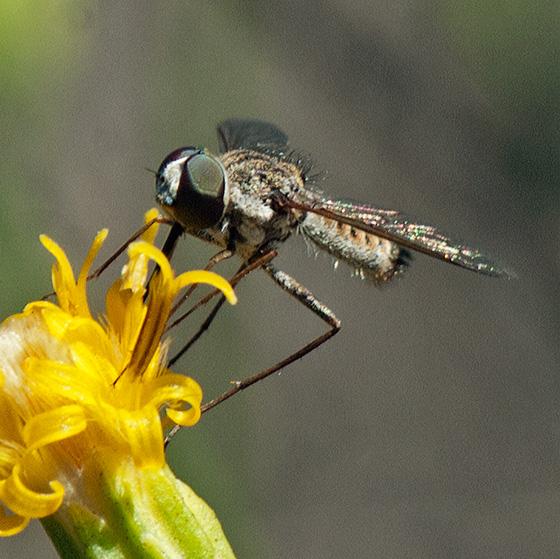 Bee fly #2 on Scale Broom - Aphoebantus? - Aphoebantus