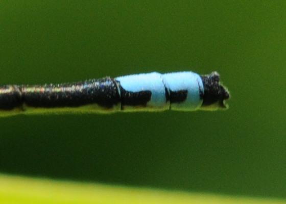 Tail markings - Ischnura verticalis - male