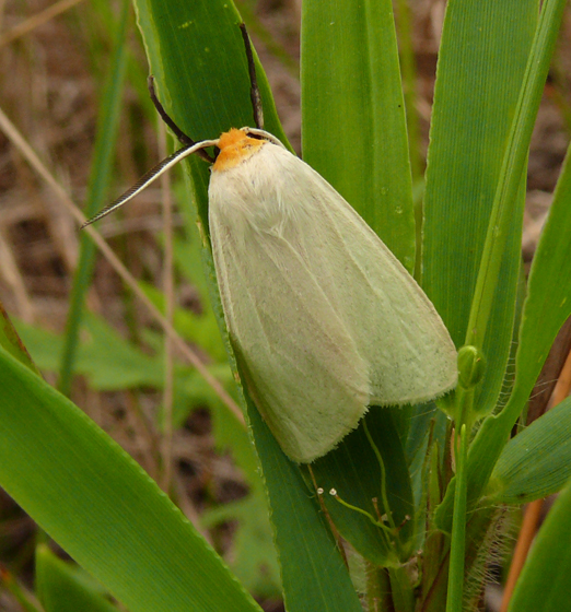 Moth - Cycnia oregonensis