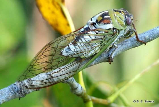Plains Harvest-fly - Megatibicen dealbatus