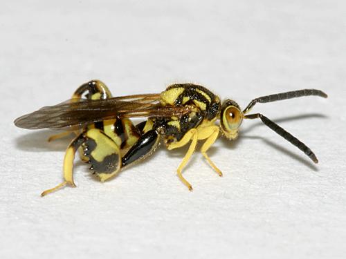 Chalcid Wasp - Conura amoena - male