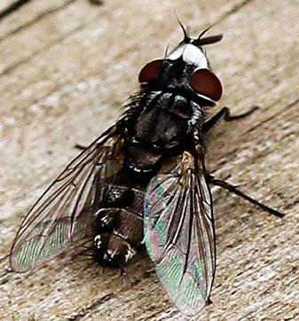 Small fly, white face - Metopia argyrocephala - male