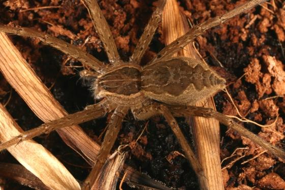 Pisaurid b - Tinus peregrinus