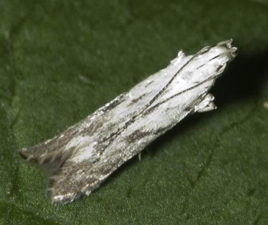 Woodland moth - Monochroa angustipennella