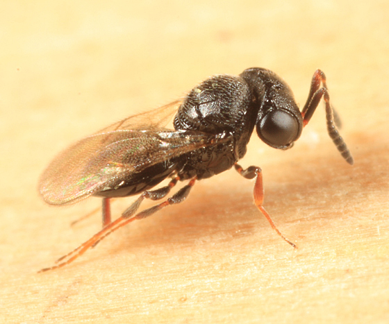 parasitic wasp - Trissolcus euschisti - female