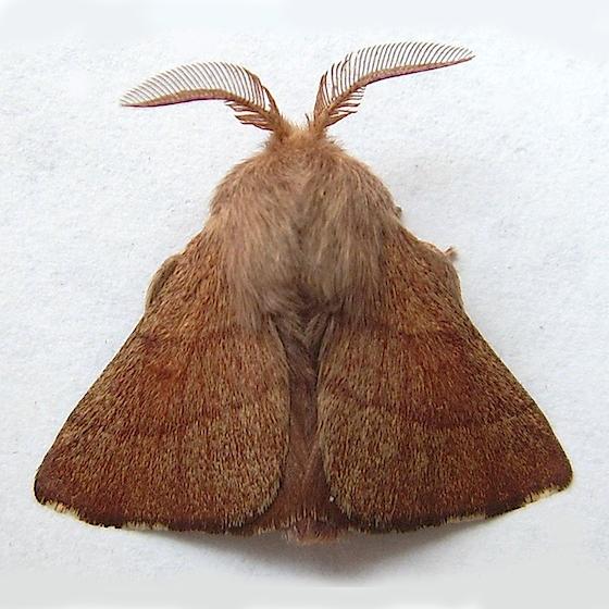 Forest Tent Caterpillar Moth - Malacosoma disstria - male