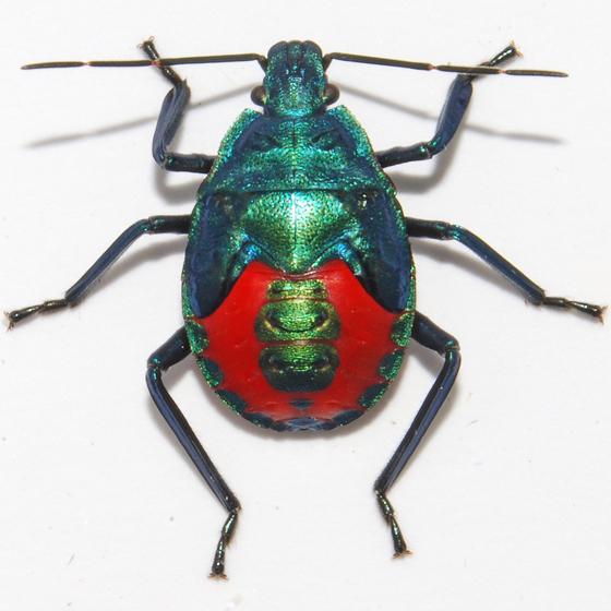 Florida Predatory Stink Bug - Euthyrhynchus floridanus