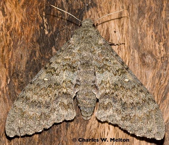 Muscosa Sphinx Moth - Manduca muscosa