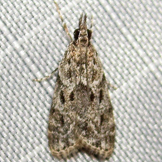 Maybe Scoparia basalis or Eudonia heterosalis
