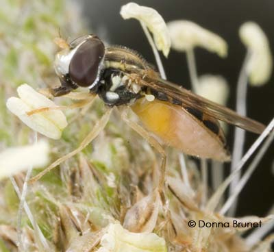 Syrphidae - Toxomerus marginatus